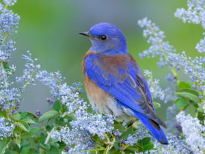 My Recent Fascination… The Bluebird.  A Bird.  A Totem.  A Spirit Animal.